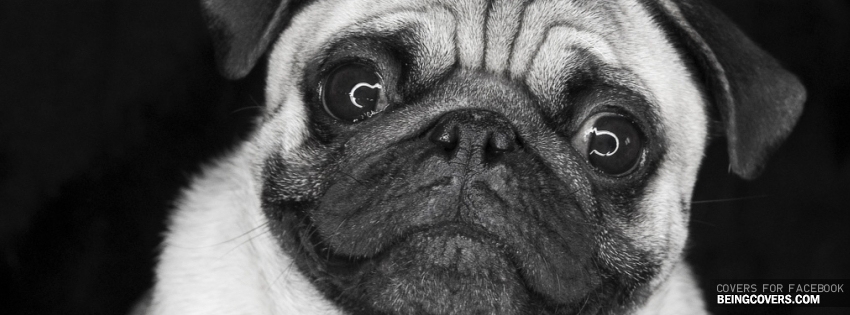 Cute Pug Facebook Cover
