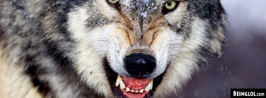 Angry Wolf  Cover